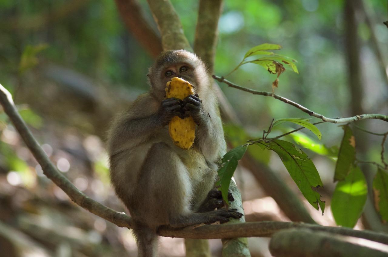 monkey on Koh Lanta