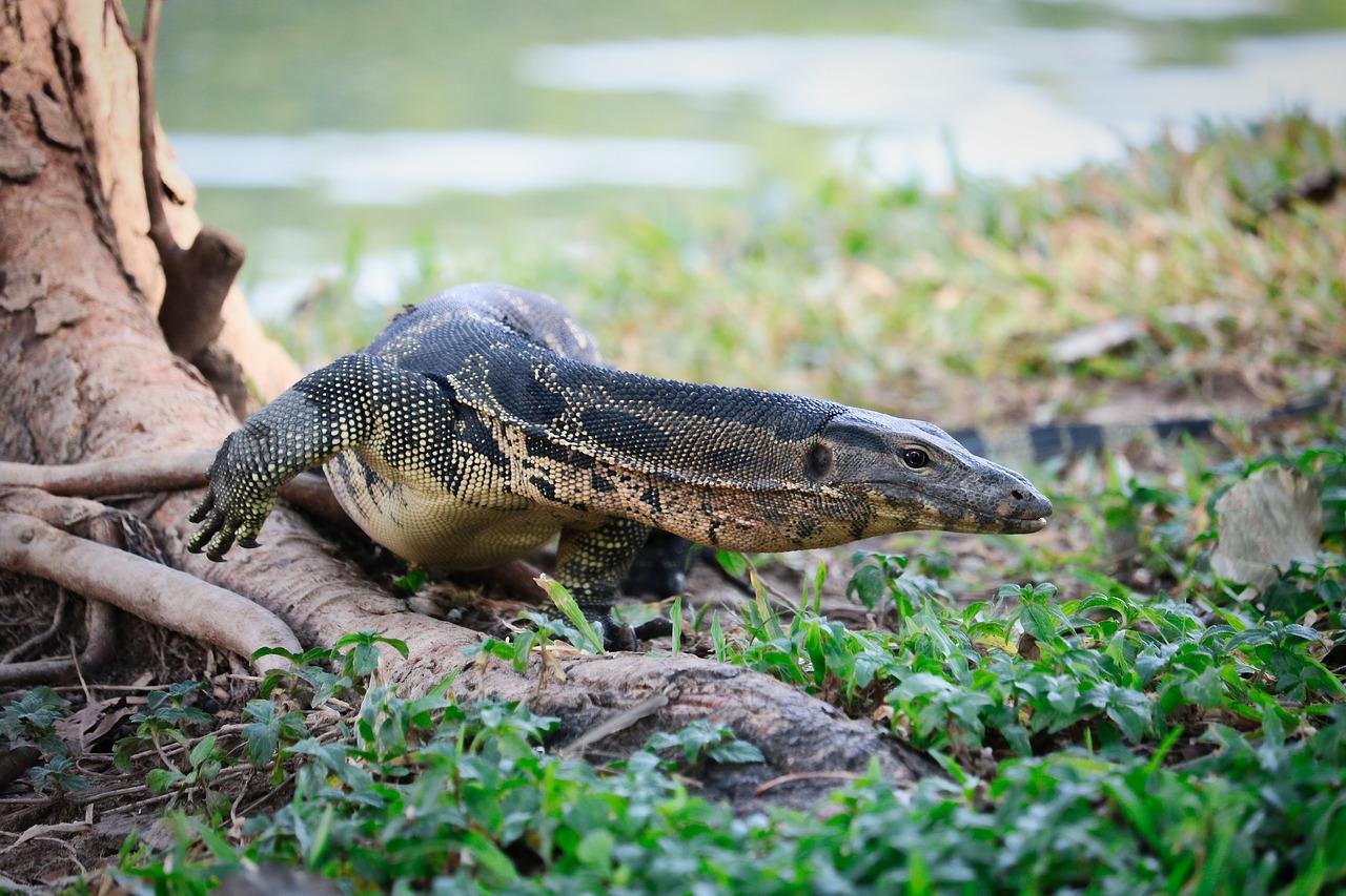 Lizard Lumphini Park